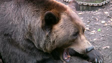orso : Brown Bear