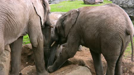 elefante : Elephant and Calf in captivity 3
