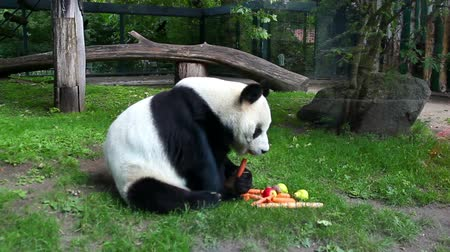 zoologico : Panda en cautiverio, Berlín