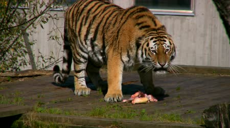 kaplan : Siberian tiger eating meat in a zoo  Stok Video