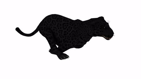 black yellow : Photo-realistic Looping Panther Animation. Alpha Matte. 3d Render. Isolated on black