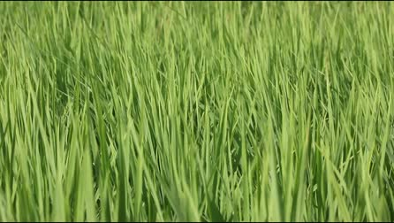 yasemin : Green rice field with breeze
