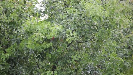 camphora : Cinnamomum camphora tree with rain