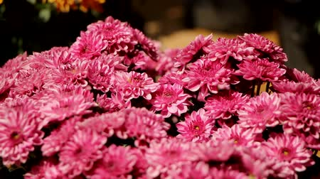 A close up footage of a bunch of chrysanthemum flowers