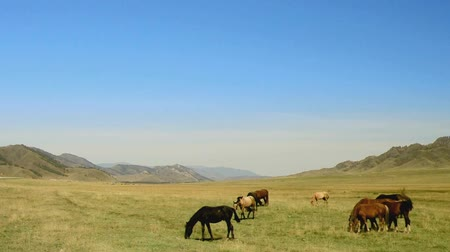 stádo : Herd of horses in the mountain valley