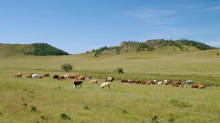 скот : Herd of horses and cows in the mountains
