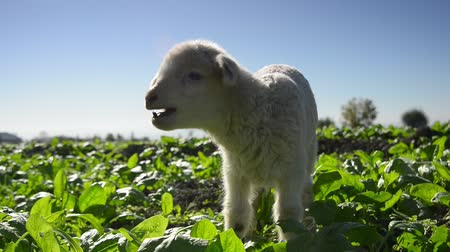 cordeiro : a white suffolk lamb, a few days old Vídeos