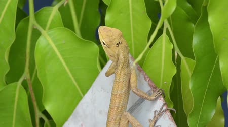 発見 : Asian yellow lizard is beautifully patterned on the neck. Standing on a plate Shook head to find insects. with movement of leaves background.Wild nature footage.