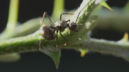 empilhamento : Portrait macro big ant on green tree in sunlight with nature background. Vídeos