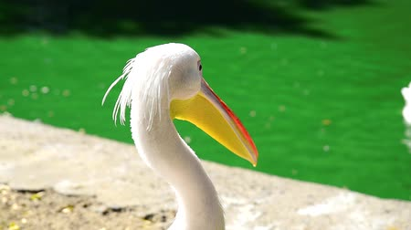 pelicans : white pelican on a pond on a summer day Stock Footage