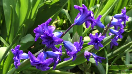jacinto : blooming blue hyacinth in the garden on a summer sunny afternoon Vídeos