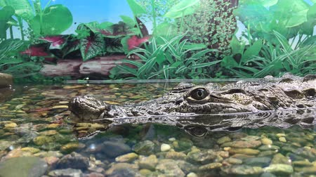 crocodilo : crocodile in aquarium, close up