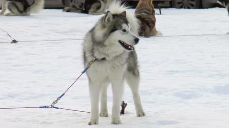 cauda : The video shows Dog breed Siberian husky, huskies, malamutes outdoors on a snowy field