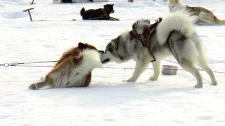 huskies : The video shows Dog breed Siberian husky, huskies, malamutes outdoors on a snowy field