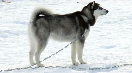 hunting dog : The video shows Dog breed Siberian husky, huskies, malamutes outdoors on a snowy field