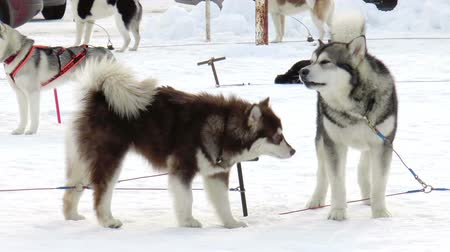 malamutes : The video shows Dog breed Siberian husky, huskies, malamutes outdoors on a snowy field
