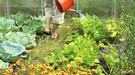 bailer : Video shows Watering zucchini from watering can close up