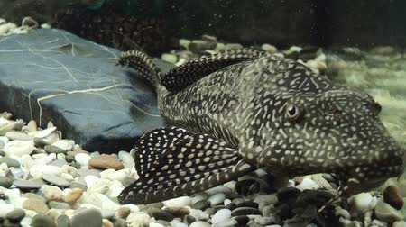 Aquarium fish catfish. Nature background
