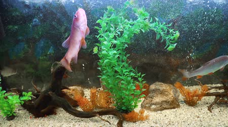 Beautiful aquarium fish. Nature background