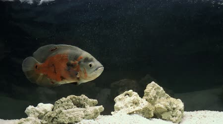 Aquarium Fish-Astronotus. Nature background