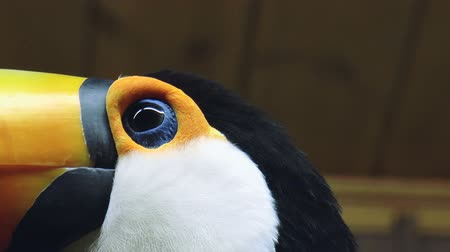The video shows Beautiful toucan bird Wideo