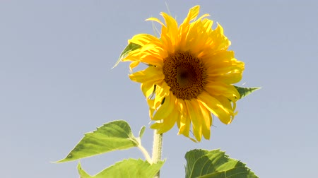 Yellow sunflower blooming flower. Nature background