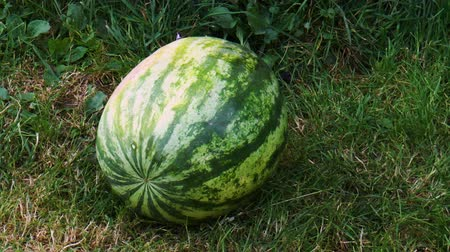 Ripe watermelons on the grass. Nature background