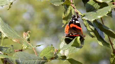 Beautiful butterfly on a sheet. Red Admiral (Vanessa atalanta) butterfly