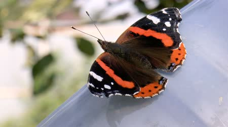 Beautiful butterfly close-up. Red Admiral (Vanessa atalanta) butterfly. Moment the butterfly goes to the toilet