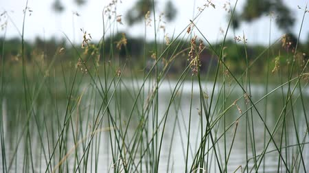 Close up in slow motion of a water grass coming from a lake in Sri Lanka. A nice bokeh. Shallow depth of field