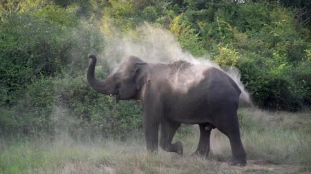 Elephant throwing sand to himself in the wild in Sri Lanka. Slow motion footage.