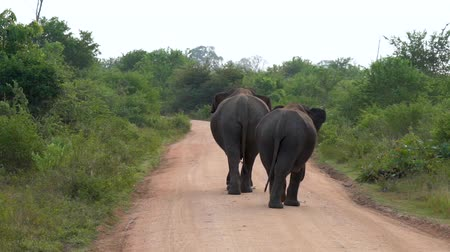 african elephant : Two elephants walking on the road in Sri Lanka.