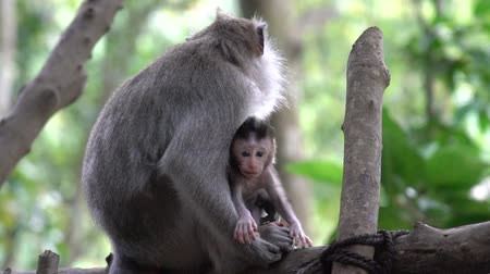 2 in 1 Baby monkey with its mother taking care of it in the Monkey Forest in Ubud, Bali.