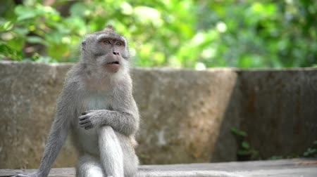 закалки : Monkey scratching his arm and looking at his hand while curiously sitting in a bank of the Monkey Forest in Ubud, Bali. An important tourist point of Bali, Indonesia. Стоковые видеозаписи