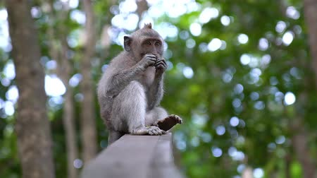 Baby monkey eating a dried potato on top of a wood in the Monkey Forest in Ubud, Bali. A tourist point of Bali, Indonesia. Stock Footage