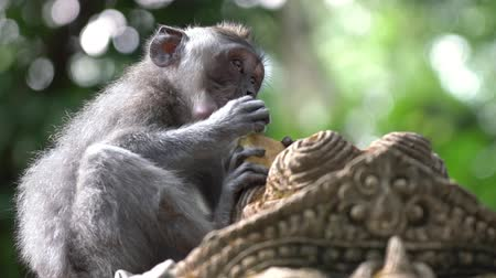 3 in 1 Close up of a little monkey eating on top of a statue of a Hindu Sacred Temple in the Monkey Forest in Ubud, Bali. Footage with nice shallow depth of field.