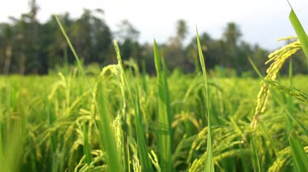2 in 1 Close up of green paddy rice shot in slow motion of a rice field of Ubud, Bali. Stock Footage