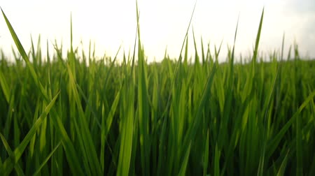 profundidade de campo rasa : Close up in slow motion of some grass of a Rice field in Ubud, Bali. Shot at sunset with a nice shallow depth of field.