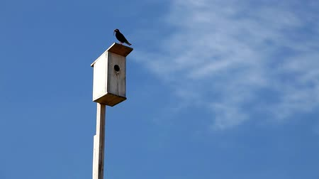 Wooden birdhouse on a blue sky background. The black starling feeds the chicks
