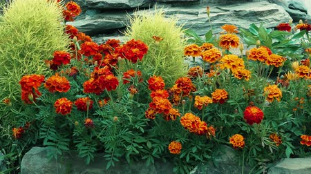 Marigolds or tagetes and plants in a garden