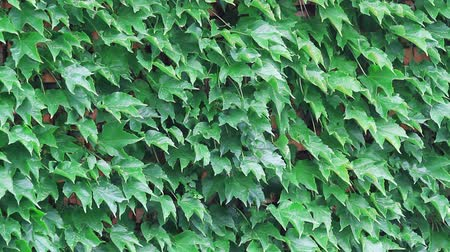 Leaves of green virginia creeper wall under the rain
