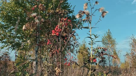 üvez ağacı : Rowan tree with ripe berries in autumn Stok Video
