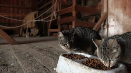 kotki : Farm cats gather in a barn to eat their cat food.