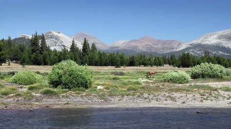 stomping : A deer grazing by a river with mountains in the background. Shot at Tuolumne Meadows in Yosemite National Park. Stock Footage