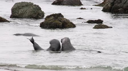 masculino : 2 elephant seals having a disagreement over territory in the shallows of the Pacific Ocean, California Stock Footage