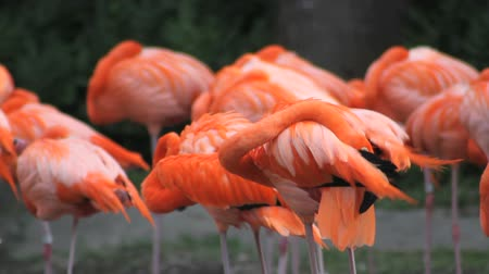 nyáj : A pink American Flamingo with its flock, grooming itself