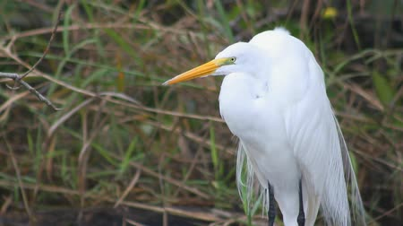 brancos : A majestic-looking great white heron takes flight in the Everglades,  Vídeos