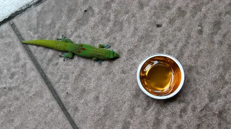 se movendo para cima : A hungry green gecko walks into frame and proceeds to lick the jelly out of a small container on the floor