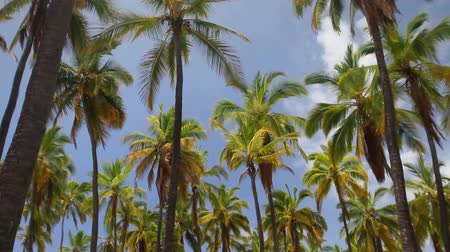 vítr : Looking up at a forest of palm trees and blue sky