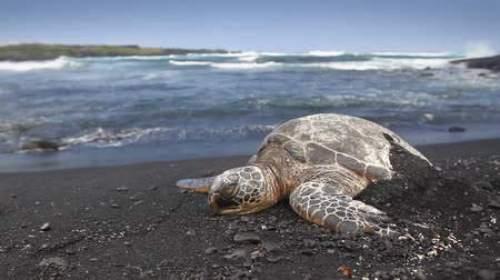 moře : Two Green Sea Turtles walking up a black sand beach from the ocean